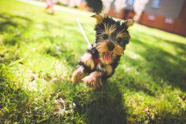 kleiner Hund läuft