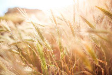 Getreidehalme im Sonnenlicht