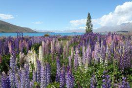 Wunderschöne Lupinenpflanzen