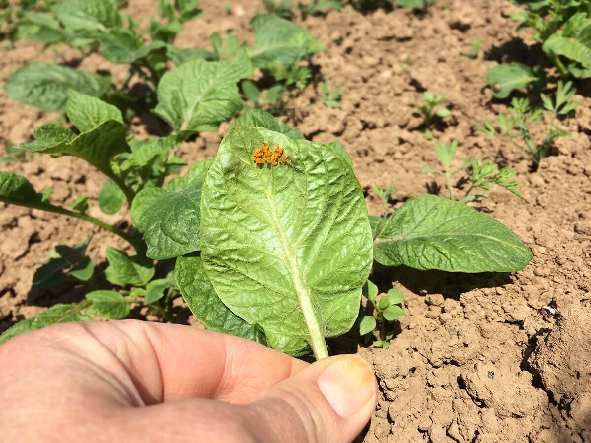 Kartoffelkäferlarven auf einem Blatt