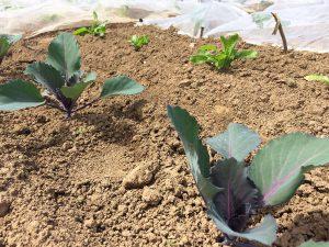 Die ersten Gemüsesorten nach 2-3 Wochen