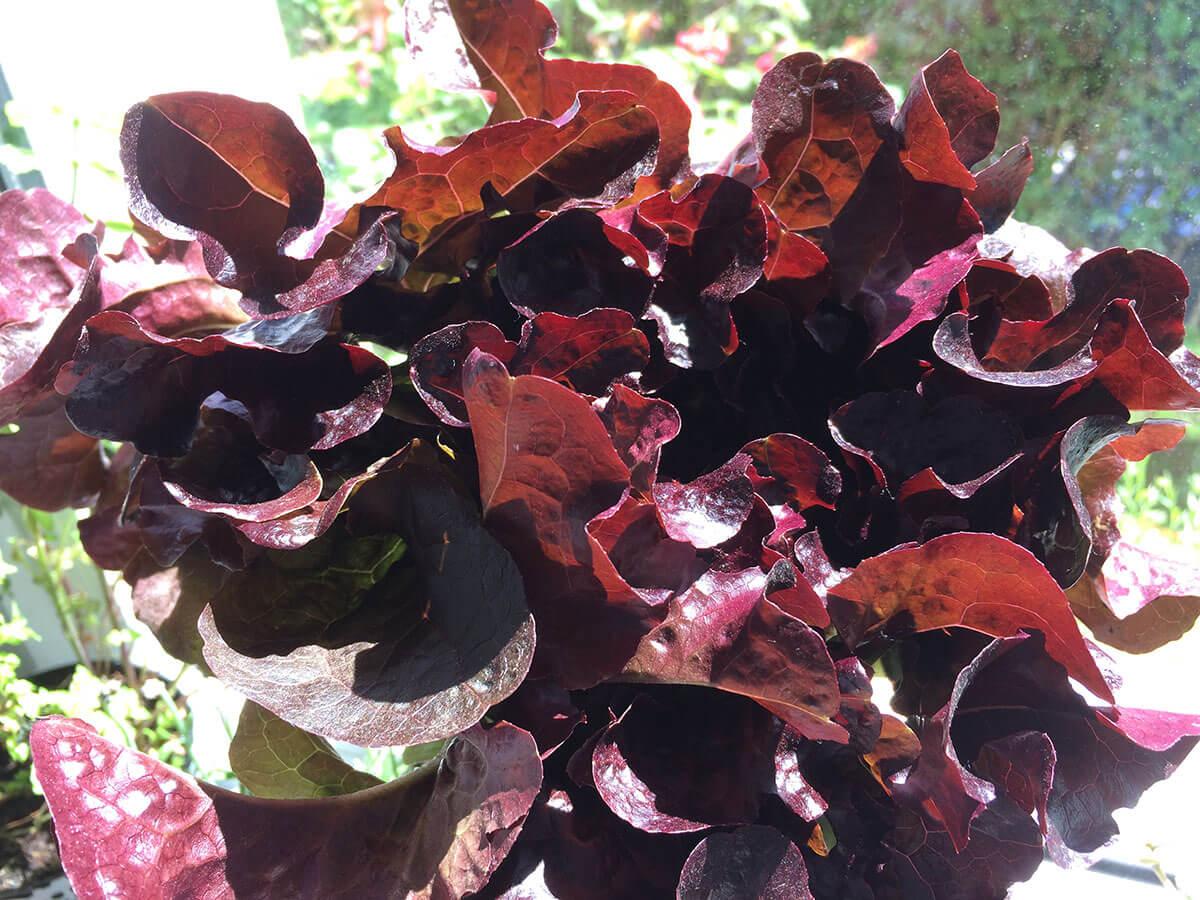 frisch geernteter roter Kopfsalat