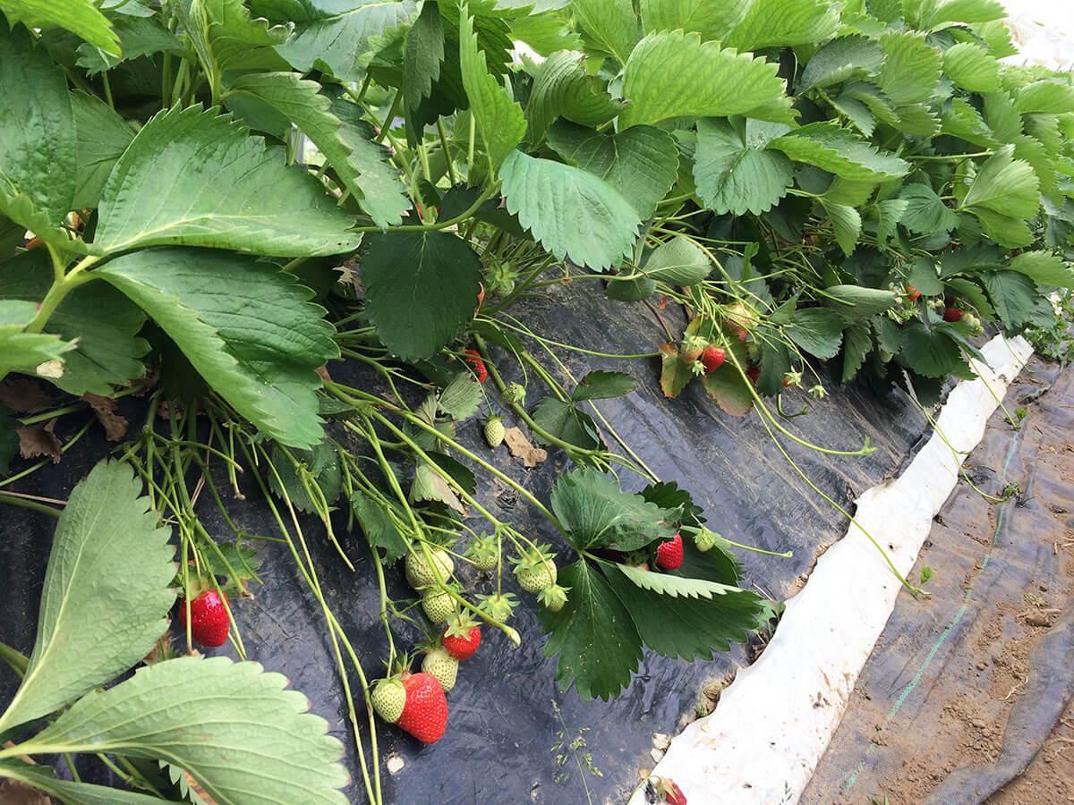 Erdbeeren an Sträuchern
