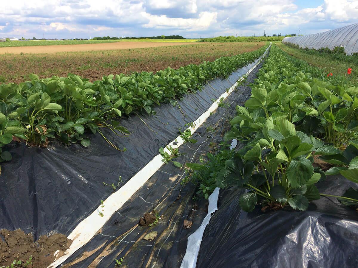 Lange Erdbeerfelder auf Hügel angebaut