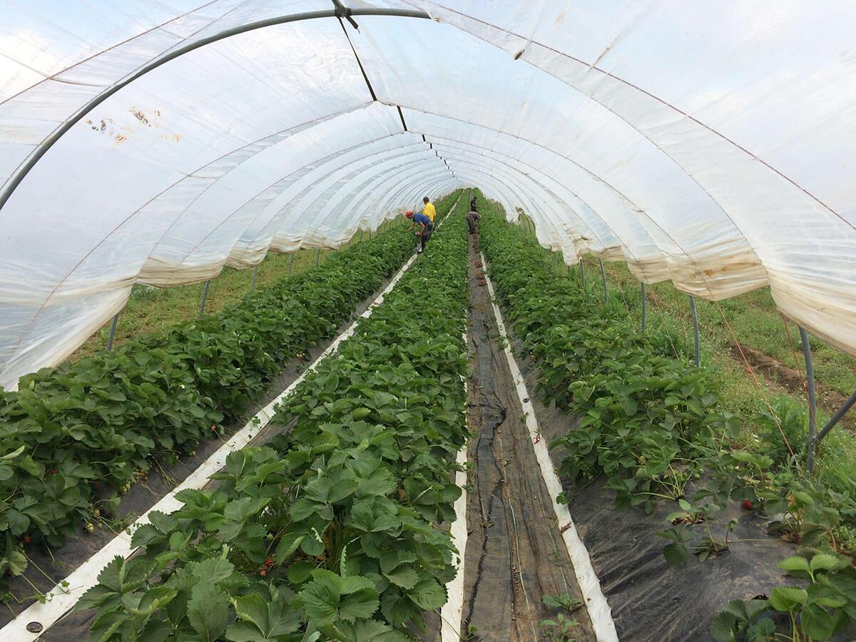 Wanederhaus für Erdbeeren